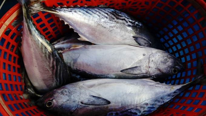 Cá ngừ mùa này giá chừng 70.000 - 100.000 đồng một kg.
